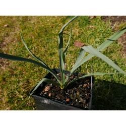 Yucca Hybride GG 025, Pflanzen für besondere Gärten, Yuccashop -