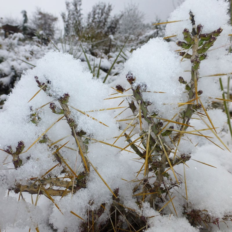 Cylindropuntia leptocaulis,  Weihnachts-Cholla vom Yuccashop -