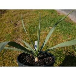 Yucca Hybride GG 031, Pflanzen für besondere Gärten, Yuccashop -
