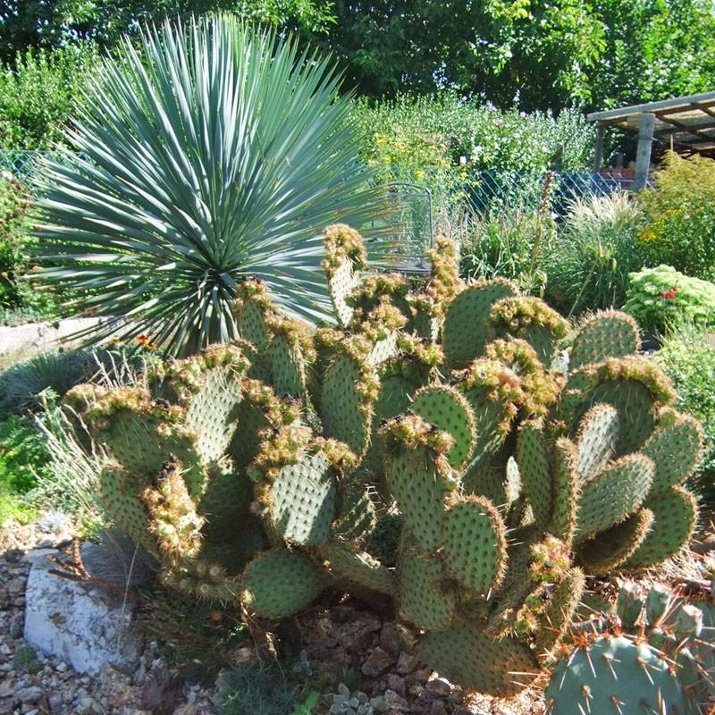 Opuntia strigil 'Kurt', Feigenkakteen vom Yuccashop -