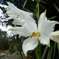 Paradisea lusitanica, Paradieslilie vom Yuccashop -