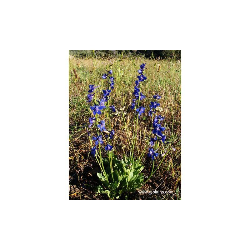 Delphinium uliginosum, Rittersporn vom Yuccashop -