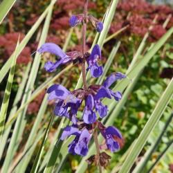 Salvia transsylvanica, Salbei vom Yuccashop -