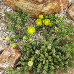 Cylindropuntia whipplei [Archuleta], Whipple's Cholla, Yuccashop -