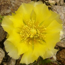 Opuntia poly. v. heacockii [Chaffee Co.], Kakteen vom Yuccashop -