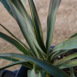 Yucca Hybride GG 029, Pflanzen für besondere Gärten, Yuccashop -
