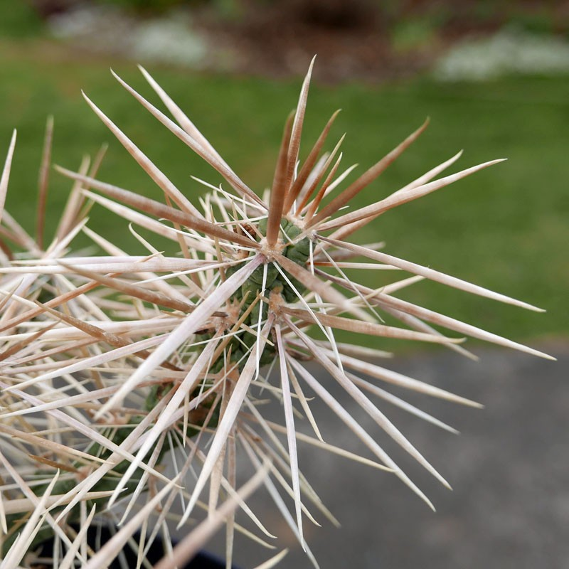 Cylindropuntia davisii [Quay] Cholla vom Yuccashop -
