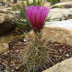 Echinocereus engelmannii, Kakteen vom Yuccashop -