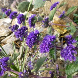 Caryopteris incana, Bartblume vom Yuccashop -