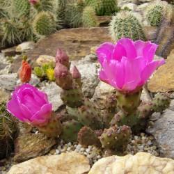 Opuntia basilaris v. brachyclada vom Yuccashop -