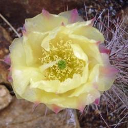 Opuntia 'Cactusmannia', Feigenkaktus vom Yuccashop -