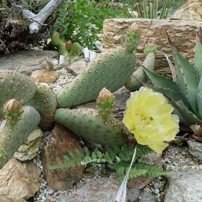 Opuntia humistrata, Feigenkaktus vom Yuccashop -