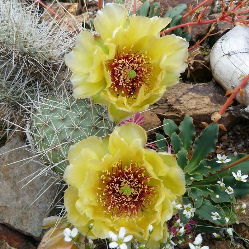 Opuntia 'Harburg', Feigenkaktus vom Yuccashop -