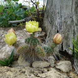 Opuntia poly. f. trichophora vom Yuccashop -