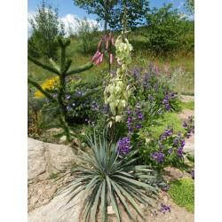 Yucca Hybride GG 030, Pflanzen für besondere Gärten, Yuccashop -