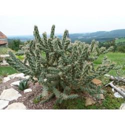 Cylindropuntia imbricata ''Kompakt'' vom Yuccashop -