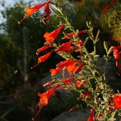 Zauschneria cal. Typ Bäuerlein, Kolibri-Trompete vom Yuccashop -
