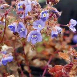 Veronica peduncularis 'Georgian Blue', Ehrenpreis, Yuccashop -
