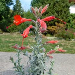Zauschneria cal. 'Olbrich Silver', Kolibri-Trompete vom Yuccashop -