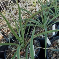 Yucca Hybride GG 016, Pflanzen für besondere Gärten, Yuccashop -