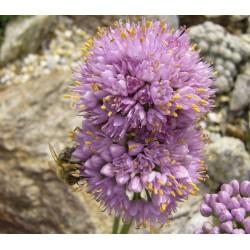 Allium senescens var. glaucum, Zierlauch vom Yuccashop -
