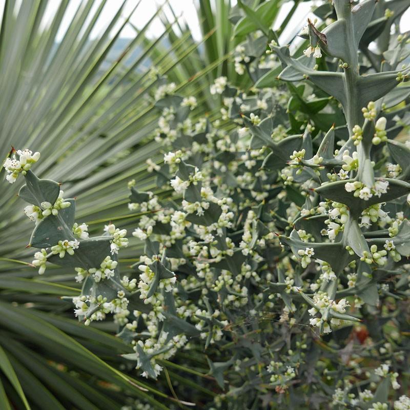 Colletia paradoxa, Ankerpflanze vom Yuccashop -