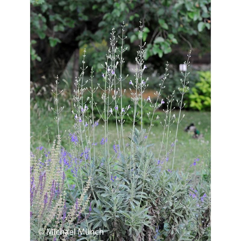 Salvia candelabrum, Salbei im Yuccashop kaufen -