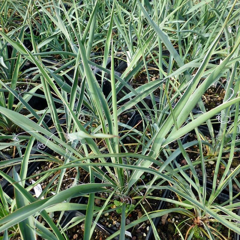 Yucca Hybride GG 059, Pflanzen für besondere Gärten, Yuccashop -