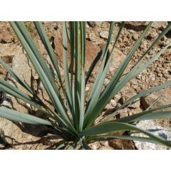 Yucca Hybride GG 076, Pflanzen für besondere Gärten, Yuccashop -