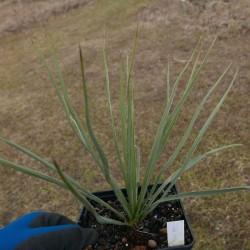 Yucca Hybride GG 084, Pflanzen für besondere Gärten, Yuccashop -
