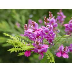 Indigofera heterantha , Indigostrauch vom Yuccashop -