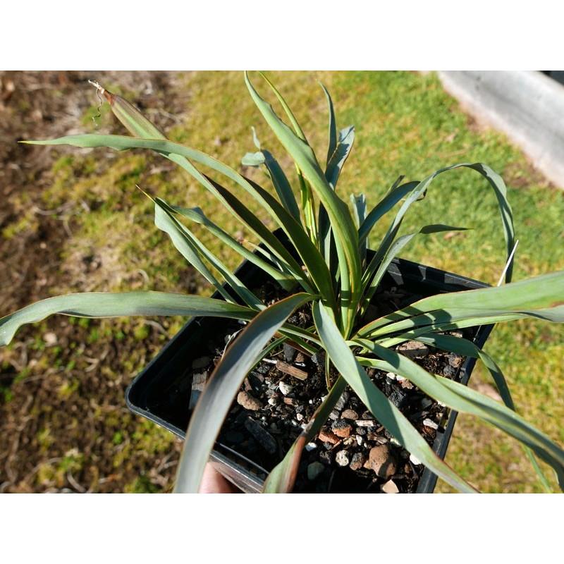 Yucca Hybride GG 095, Pflanzen für besondere Gärten, Yuccashop -