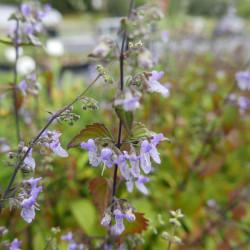 Rabdosia rubescens, Buschnessel vom Yuccashop -