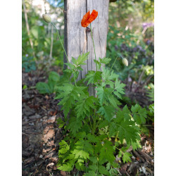 Meconopsis cambrica 'Francis Perry' vom Yuccashop -