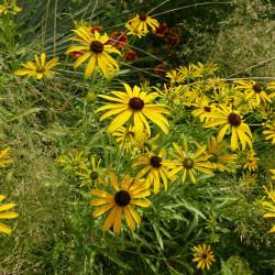 Rudbeckia missouriensis, Sonnenhut vom Yuccashop -