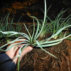 Yucca Hybride GG 097, Pflanzen für besondere Gärten, Yuccashop -