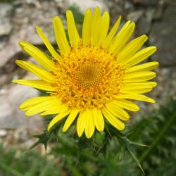 Berkheya multijuga, Bergdistel vom Yuccashop -