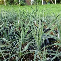 Yucca Hybride GG 046, Pflanzen für besondere Gärten, Yuccashop -