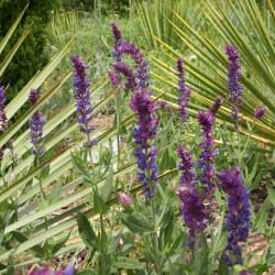 Salvia deserta, Asiatischer Wüstensalbei, Stauden, Yuccashop -