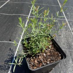 Galium glaucum, Labkraut vom Yuccashop -