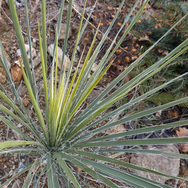 Yucca Hybride GG 055, Pflanzen für besondere Gärten, Yuccashop -