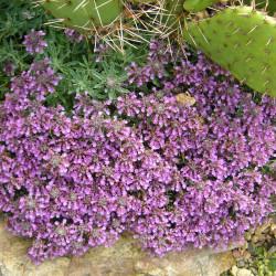 Teucrium ackermannii, Gamander vom Yuccashop -