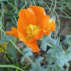 Penstemon pinifolius, Bartfaden vom Yuccashop -
