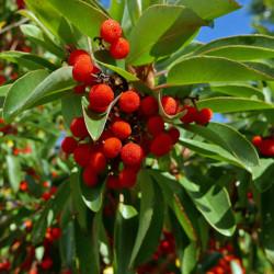 Arbutus texana, Matrone, Erdbeerbaum, Gehölze vom Yuccashop -