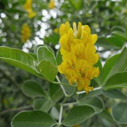 Argyrocytisus battandieri, Ananas-Ginser vom Yuccashop -