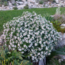 Daphne x transatlantica 'Summer Ice', Seidelbast vom Yuccashop -