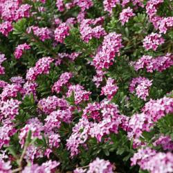 Daphne cneorum, Rosmarin-Seidelbast vom Yuccashop -