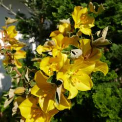 Fremontodendron 'California Glory', Flanellstrauch vom Yuccashop -