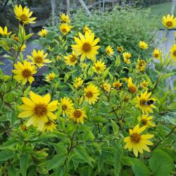 Helianthus 'Lemon Queen', Sonnenblume vom Yuccashop -