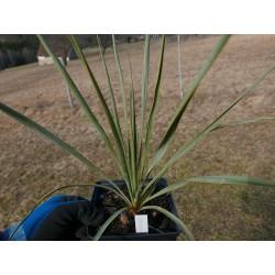 Yucca Hybride GG 071, Pflanzen für besondere Gärten, Yuccashop -